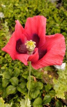 Mack, Flower, Red, Field, Nature, Meadow, Summer