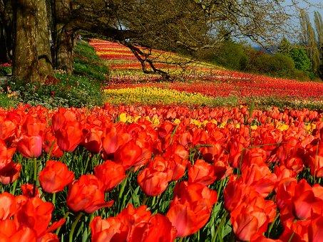 Tulips, Red, Colorful, Mainau, Island, Mainau Island