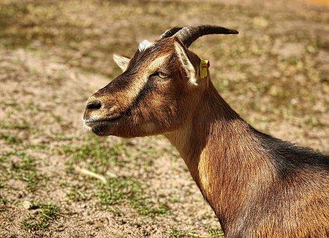 Goat, Horns, Mammal, Domestic Goat, Bock, Livestock