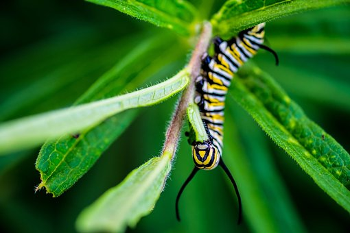 Caterpillar, Monarch, Larva, Insect, Milkweed, Bug