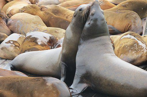 Sea Lion, Nature, Animal, Water, Sea Creature, Swim