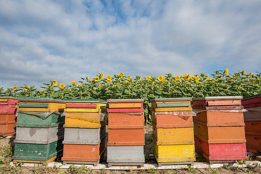 Sunflower, Hive, Bee, Agriculture, Bees, Nature