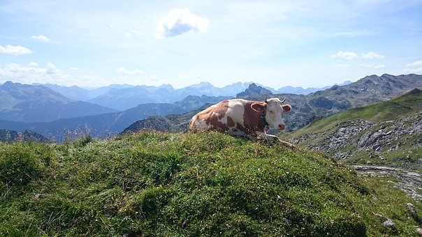 Cow, Mountains, Nature