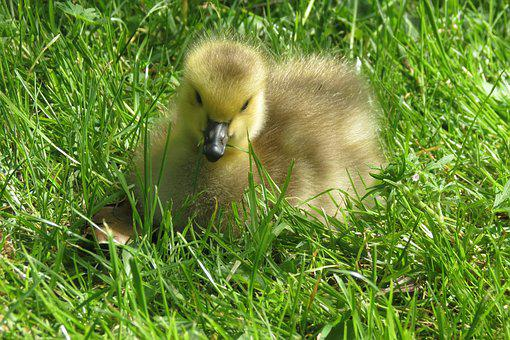 Gosling, Goose, Baby, Animal, Nature, Wildlife, Chick