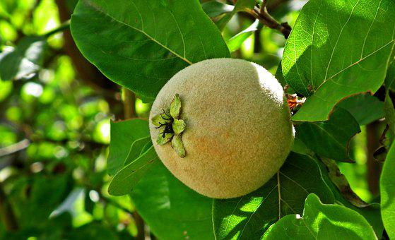 Fruit, Quince, Tree, Hairy, Leaf, Closeup, Nature