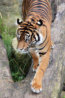 Tiger, Wilderness, Animal World, Predator, Nature