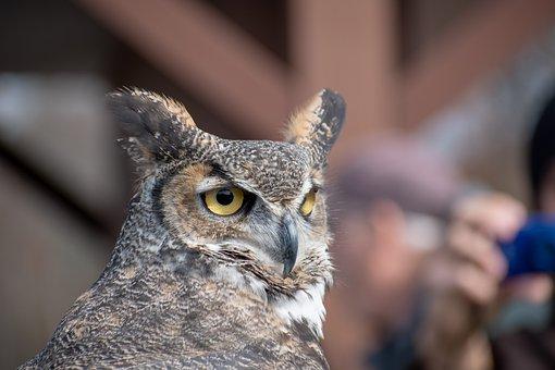 Horned Owl, Owl, Raptor, Nature, Nocturnal, Wildlife