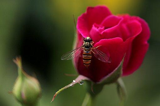 Flowers, Rose, Love, Romantic, Pink, Romance, Orange