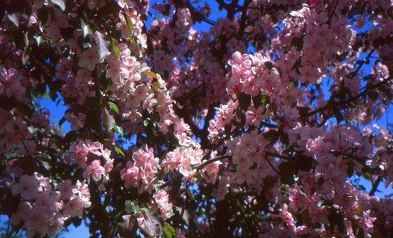 Apple, Blossoms, Pink, Tree, Flower, Floral, Botanical