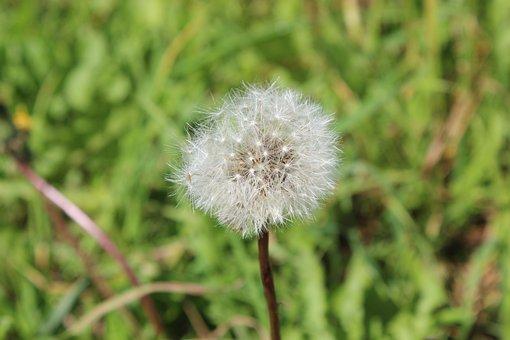 Dandelion, Plant, Flower, Nature, Close Up, Seeds