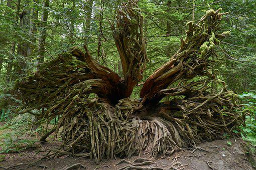 Root, Forest, Nature, Mystical, Morsch, Rots, Plant