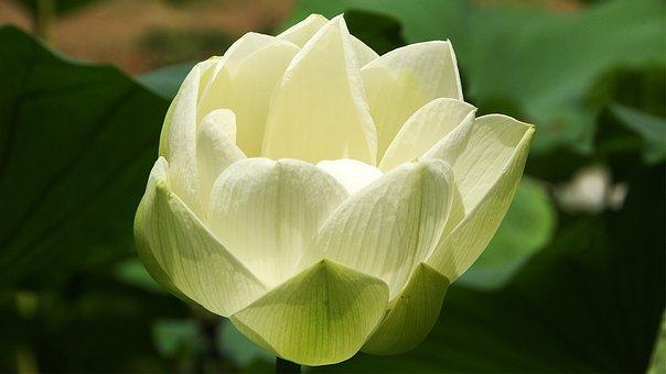 Lotus, Gangneung, Pond, Korea, Water, Summer, Plants