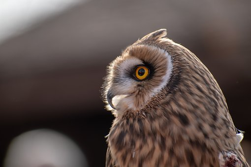 Owl, Raptor, Bird, Plumage, Feather, Animal, Nature