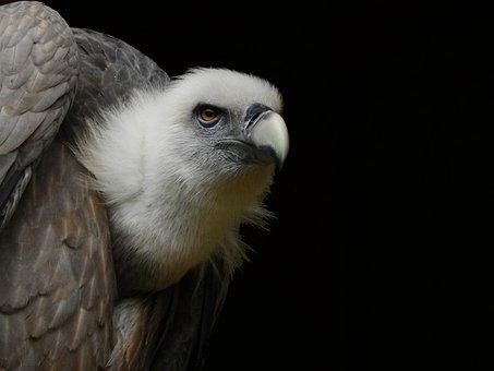 Vulture, Raptor, Bill, Bird, Zoo, Münster, Allwetterzoo
