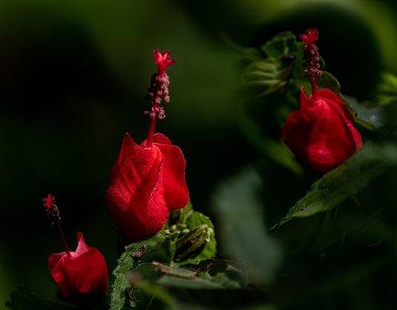 Red Turk's Cap, Turk's Turban, Malvaviscus