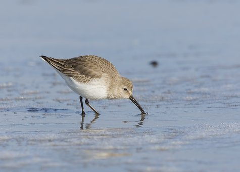 Sandpiper, Bird, Nature, Wildlife, Water, Shorebird
