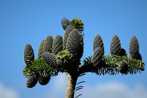 Coniferous, Cones, Sky, Branch
