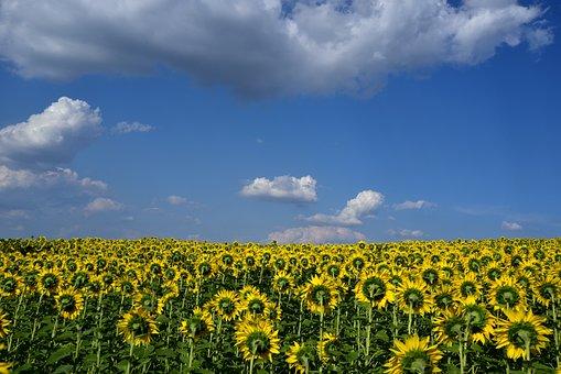 Sunflower Field, Sky, Clouds, Horizon, Wide, Yellow