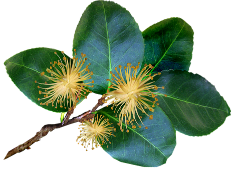 Leaves, Stem, Camellia, Plant, Garden, Nature