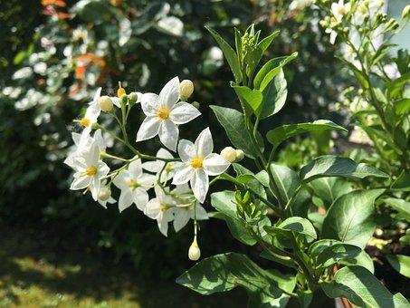 Flower, Jasmin, Garden, Summer