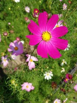 Cosmos, Garden, Flowers, Decorative, Summer