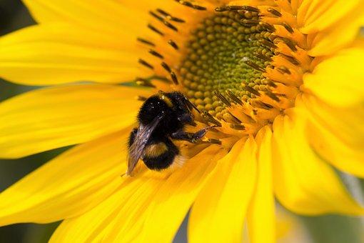 Sun Flower, Hummel, Blossom, Bloom, Nature, Yellow