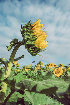 Sunflower, Agriculture, Nature, Plant, Sky, Summer