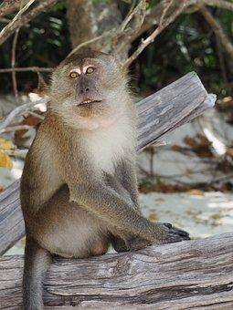 Monkey, Animal, Thailand