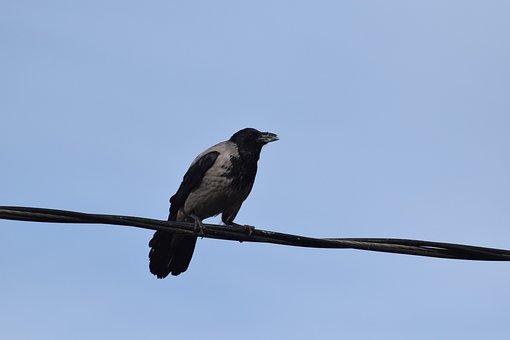 Crow, Gray, Thread, Corvus, The Birds, Blue, Animals