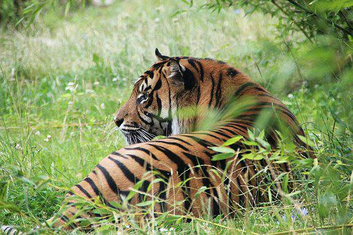 Tiger, Wilderness, Predator, Nature, Wildcat