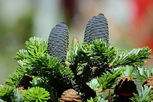 Coniferous, Cones, Tree, Plant, Branch