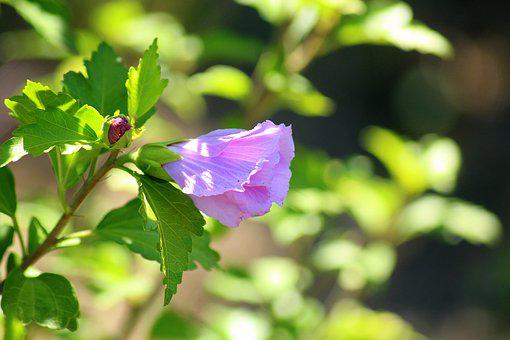 Hibiscus, Flower, Violet, The Petals, Pink, Plants