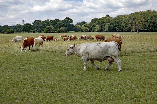 Cow, Cows, White Cow, Pasture, Nature, Livestock
