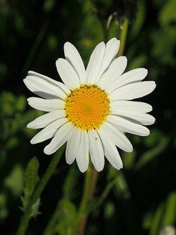 Margarite, Blossom, Bloom, White, Wiesenbllume, Spring