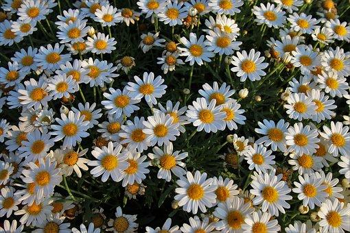 White Flowers, Wild Flowers, Chamomile, Closeup