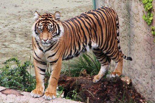 Tiger, Zoo, Predator, Animal World, Wildcat, Cat