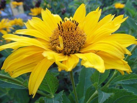 Słoneczniczek Rough, Złotożółta Color, Złotożółty