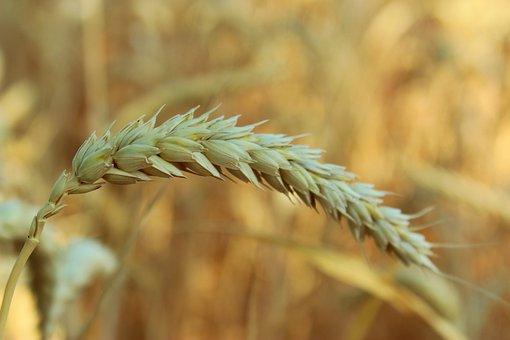 Cornfield, Ear, Wheat, Flour, Agriculture, Grain