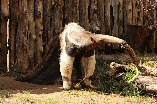 Giant Anteater, Animal, Wildlife, Tongue, Ant