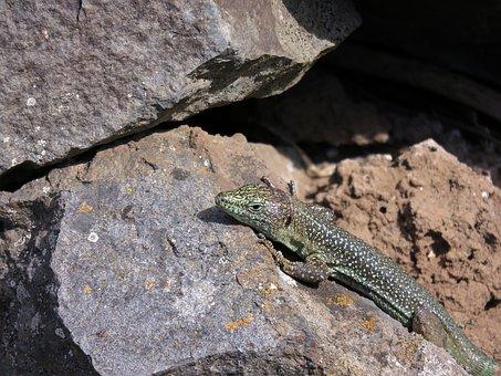 Lizard, Madeira, Reptile, Animal, Stone Wall, Portugal