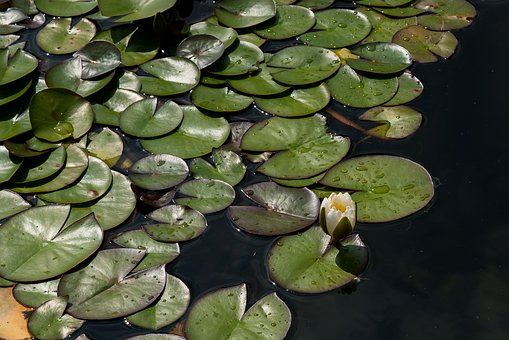 Lily, Aquatic, Leaf, Water, Lake, Tropical, Flower
