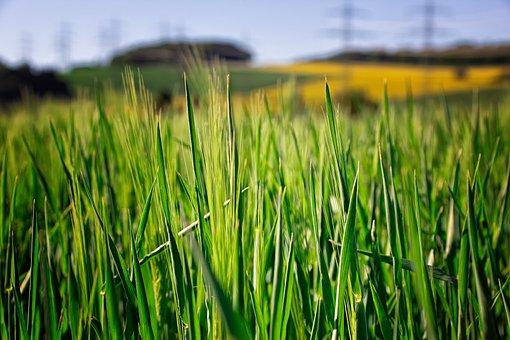 Landscape, Nature, Cornfield, Barley, Sky, Blue, Green