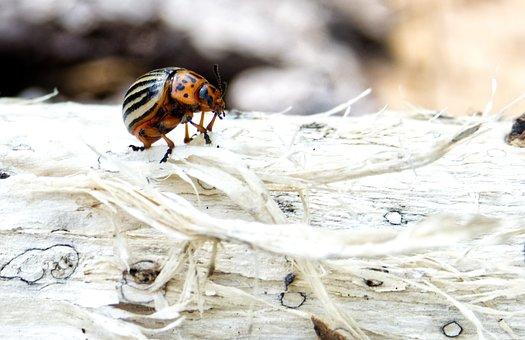 Beetle, Insect, Pest, Potato Beetle, Probe, Log, Legs