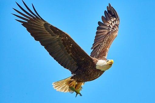 Bald Eagle, Bird In Flight, Bif, Usa, Feather, Bird