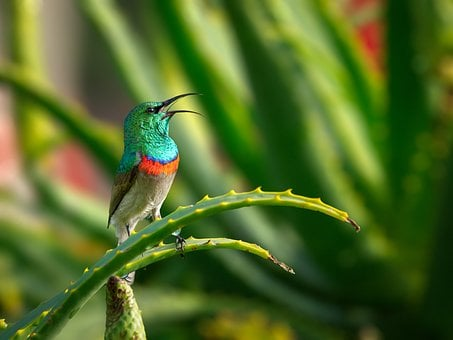 Southern Double-collared Sunbird, Male, Bird
