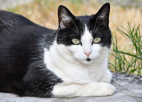 Cat, Pussy, Feline, Animal, Portrait, Domestic, Black
