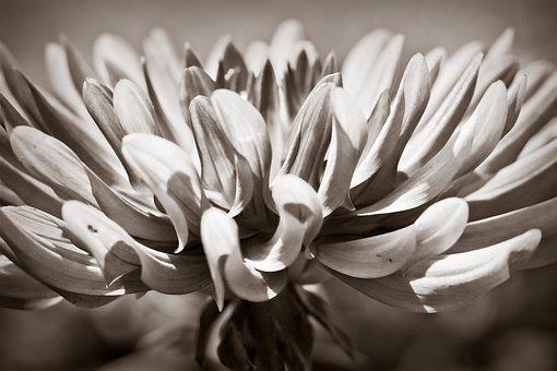 Dahlia, Flower, Blossom, Bloom, Plant, Dahlia Garden