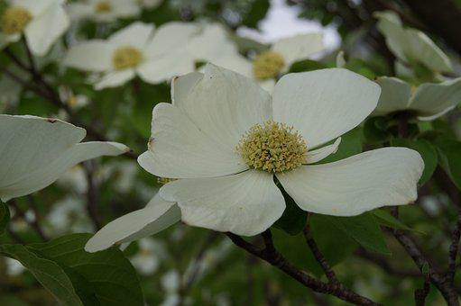 Dogwood, Blossom, Bloom, White, Plant, Petals