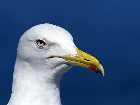 Gull, Head, Portrait, Close Up, Yellow Beak, Bird