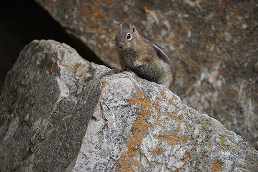Golden-mantled Ground Squirrel, Colorado, Wilderness